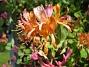 Blomsterkaprifol  2015-06-26 IMG_0042