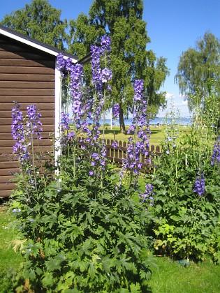 Riddarsporre Riddarsporrarna är sådär i år men i vart fall bättre än förra året.&nbsp 2015-07-01 IMG_0012 Granudden Färjestaden Öland