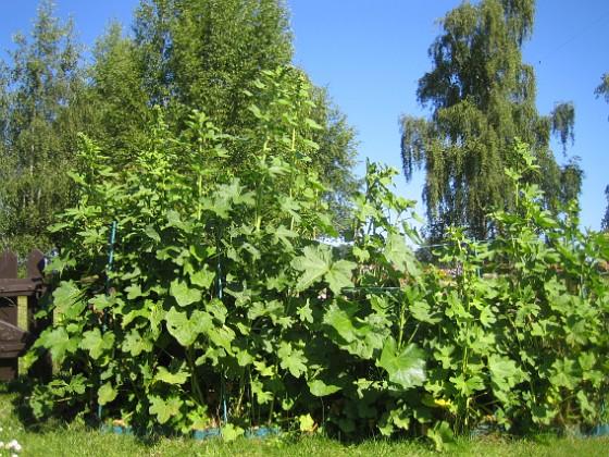 Stockros Här blir det snart (?) fina blommor på mina Stockrosor. 2015-07-01 IMG_0028 Granudden Färjestaden Öland