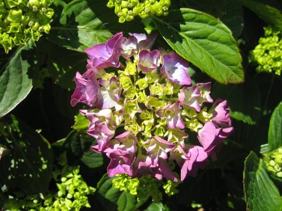Hortensia Knepigt att jag redan har blommor på Hortensia!&nbsp 2015-07-01 IMG_0052 Granudden Färjestaden Öland
