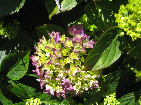 Hortensia Knepigt att jag redan har blommor på Hortensia!&nbsp 2015-07-01 IMG_0053 Granudden Färjestaden Öland