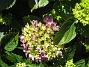 Hortensia Knepigt att jag redan har blommor på Hortensia! 2015-07-01 IMG_0053