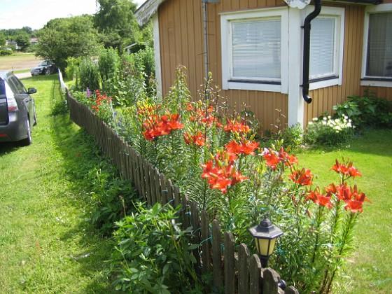 Liljor &nbsp 2015-07-13 IMG_0002 Granudden Färjestaden Öland