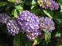 Hortensia  2015-07-13 IMG_0036