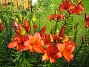 Liljor  2015-07-13 IMG_0056