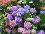 Hortensia  2015-07-15 IMG_0007