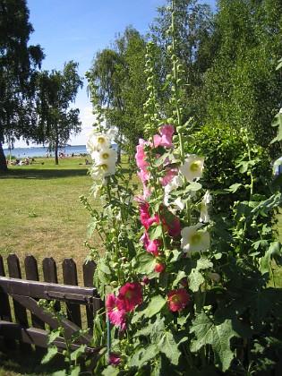 Stockros &nbsp 2015-07-17 Stockros_0031 Granudden Färjestaden Öland