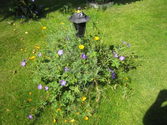 Trädgårdsnäva &nbsp 2015-07-21 Trädgårdsnäva_0036 Granudden Färjestaden Öland
