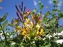 (2015-07-21 Blomsterkaprifol_0030)
