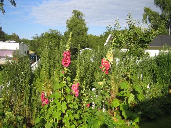 Stockros &nbsp 2015-07-24 Stockros_0014 Granudden Färjestaden Öland