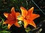 Liljor  2015-07-24 Liljor_0045
