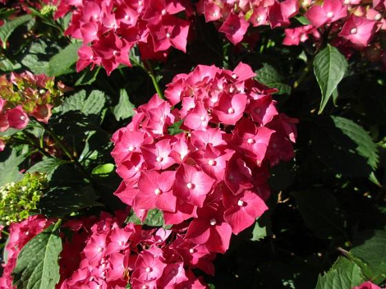 Hortensia &nbsp 2015-07-28 Hortensia_0107 Granudden Färjestaden Öland