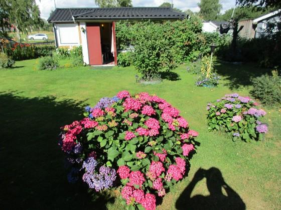 Hortensia &nbsp 2015-07-28 Hortensia_0110 Granudden Färjestaden Öland