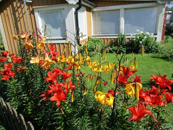 Liljor {                                I år har det mest varit röda Liljor. Jag hade ursprungligen en mängd olika varianter men variationen har minskat för varje år.  }