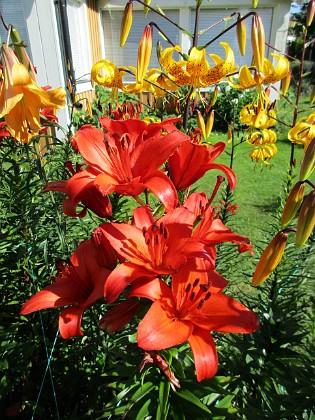 Liljor {                                Sannolikt är de röda liljorna mera benägna att föröka sig och konkurrerar därmed ut de andra varianterna. }