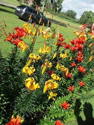 Liljor &nbsp 2015-07-28 Liljor_0050 Granudden Färjestaden Öland