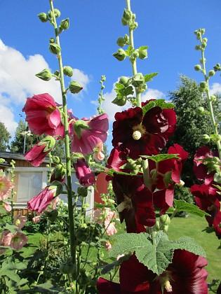 Stockros Jag hoppas på massor av frön så jag kan få se dessa vackra blommor föröka sig!&nbsp 2015-07-28 Stockros_0008 Granudden Färjestaden Öland