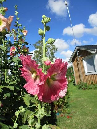 Stockros &nbsp 2015-07-28 Stockros_0040 Granudden Färjestaden Öland