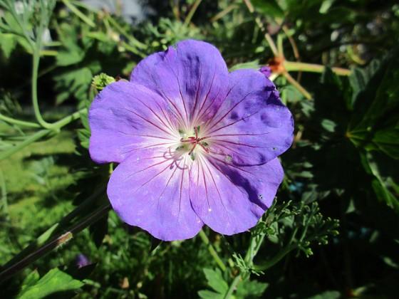 Trädgårdsnäva                                &nbsp 2015-07-28 Trädgårdsnäva_0146 Granudden Färjestaden Öland