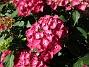 (2015-07-28 Hortensia_0107)