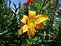Citronella (2015-07-28 Tigerlilja_0052)