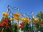 Citronella (2015-07-28 Tigerlilja_0058)