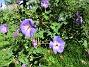 Trädgårdsnäva                                 2015-07-28 Trädgårdsnäva_0143