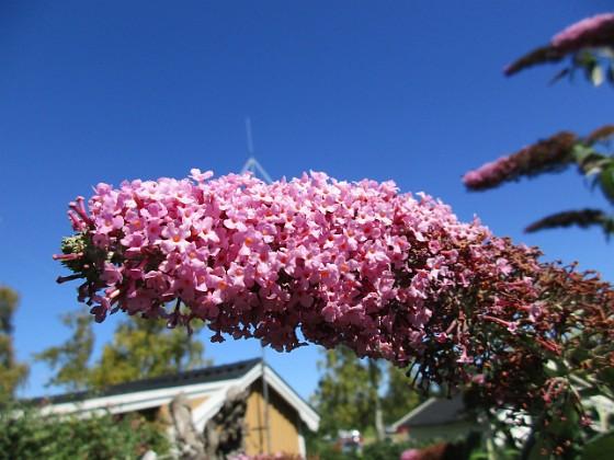 Buddleja {                                Väldoftande blommor! }