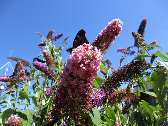 Buddleja {                                Den kallas även Fjärilsbuske, av en anledning... }