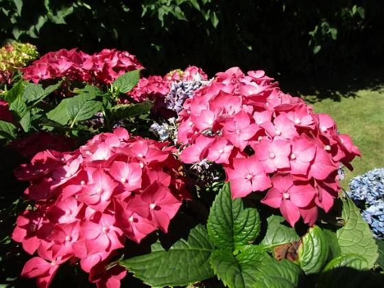 Hortensia                                &nbsp 2015-08-09 Hortensia_0050 Granudden Färjestaden Öland