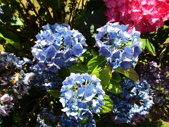 Hortensia                                &nbsp 2015-08-09 Hortensia_0053 Granudden Färjestaden Öland