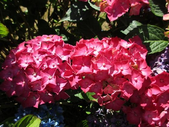 Hortensia                                &nbsp 2015-08-09 Hortensia_0054 Granudden Färjestaden Öland