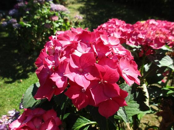 Hortensia                                &nbsp 2015-08-09 Hortensia_0057 Granudden Färjestaden Öland
