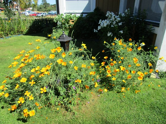 Sömntuta {                                Sömntuta är en ettårig växt men som kommer tillbaka hos mej år efter år och med ännu mera riklig blomning. }