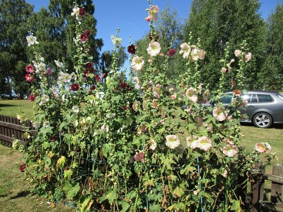 Stockros                                Stockrosorna kommer nog att blomma ett tag till. 2015-08-09 Stockros_0010 Granudden Färjestaden Öland