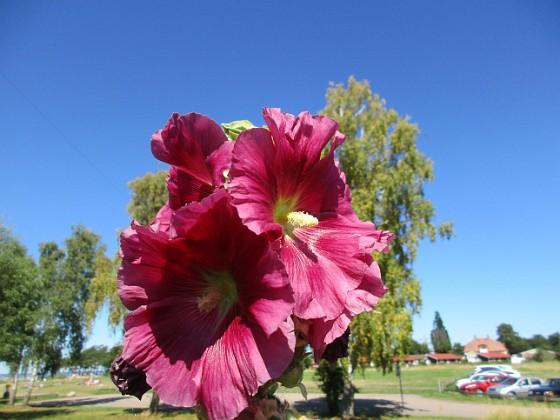 Stockros                                &nbsp 2015-08-09 Stockros_0037 Granudden Färjestaden Öland
