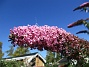 Buddleja                                Väldoftande blommor! 2015-08-09 Buddleja_0039