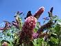 Den kallas även Fjärilsbuske, av en anledning... (2015-08-09 Buddleja_0043)