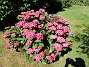 Hortensia                                 2015-08-09 Hortensia_0047