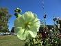 Stockros                                Gul Stockros mot blå himmel blir extra vackert. 2015-08-09 Stockros_0006
