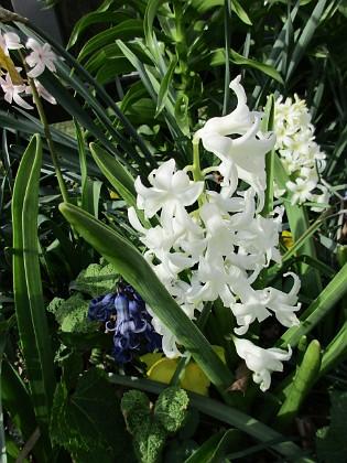 Hyacint                                &nbsp 2016-04-30 Hyacint3 Granudden Färjestaden Öland