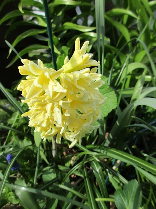 Hyacint                                &nbsp 2016-04-30 Hyacint4 Granudden Färjestaden Öland
