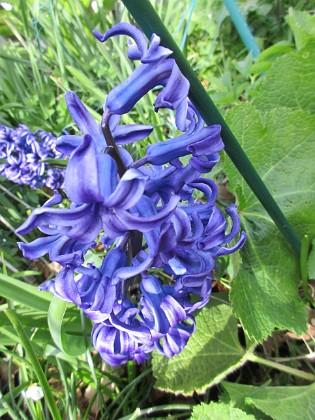 Hyacint                                Förr i tiden hade jag väldigt många #hyacinter men de blir allt färre och färre i min trädgård. 2016-04-30 Hyacnt Granudden Färjestaden Öland