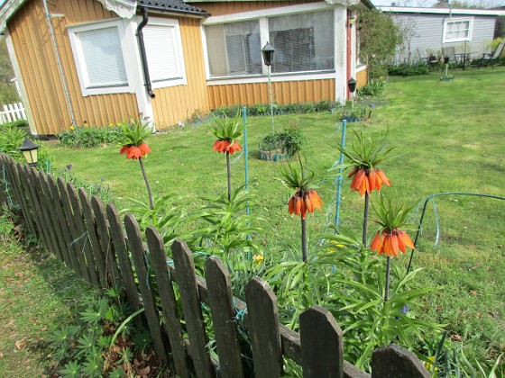 #kejsarkronor är iögonfallande även utifrån! 2016-04-30 Kejsarkrona Granudden Färjestaden Öland