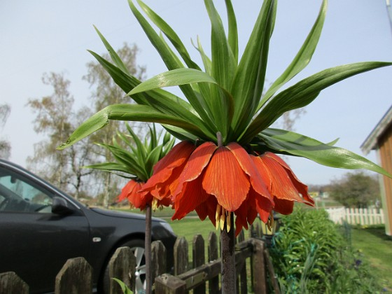 Kejsarkrona                                Man får lov att krypa riktigt nära samt lägga sig ner under blomman för att få en bra bild.&nbsp 2016-04-30 Kejsarkrona3 Granudden Färjestaden Öland