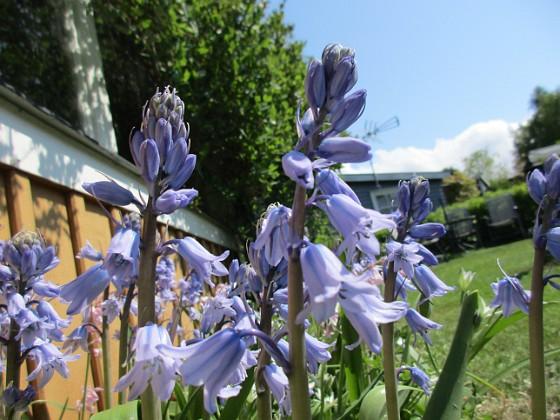 Klockhyacint                                Mycket vacker blå färg!&nbsp 2016-05-14 Klockhyacint_0021 Granudden Färjestaden Öland