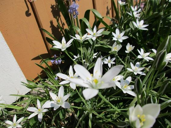 Morgonstjärna {                                Detta är för övrigt de enda blommor jag numera har framför altanen. }