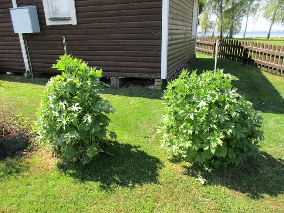Riddarsporre                                &nbsp 2016-05-14 Riddarsporre_0007 Granudden Färjestaden Öland