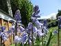 Klockhyacint                                Mycket vacker blå färg! 2016-05-14 Klockhyacint_0021