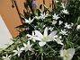 Detta är för övrigt de enda blommor jag numera har framför altanen. (2016-05-14 Morgonstjärna_0012)